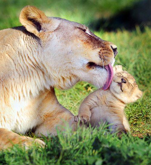 Mother Lionesse